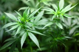 THC Hype mit Cannabispflanze