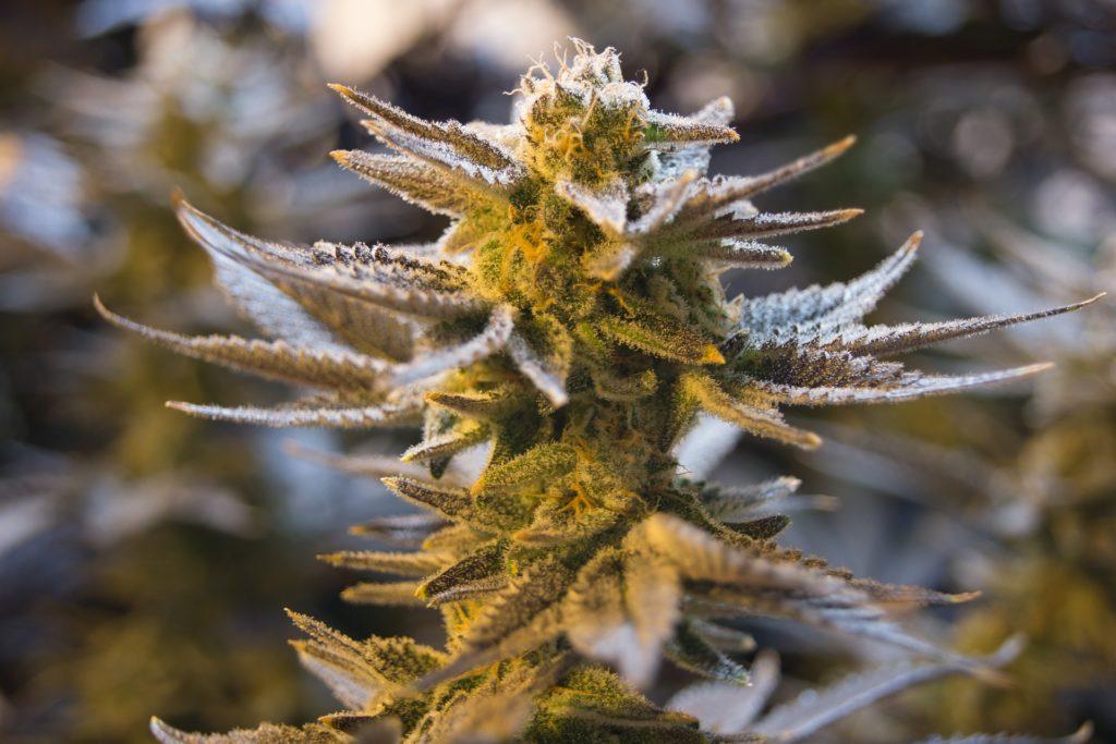 Cannabis Produzenten mit Cannabis Blüte